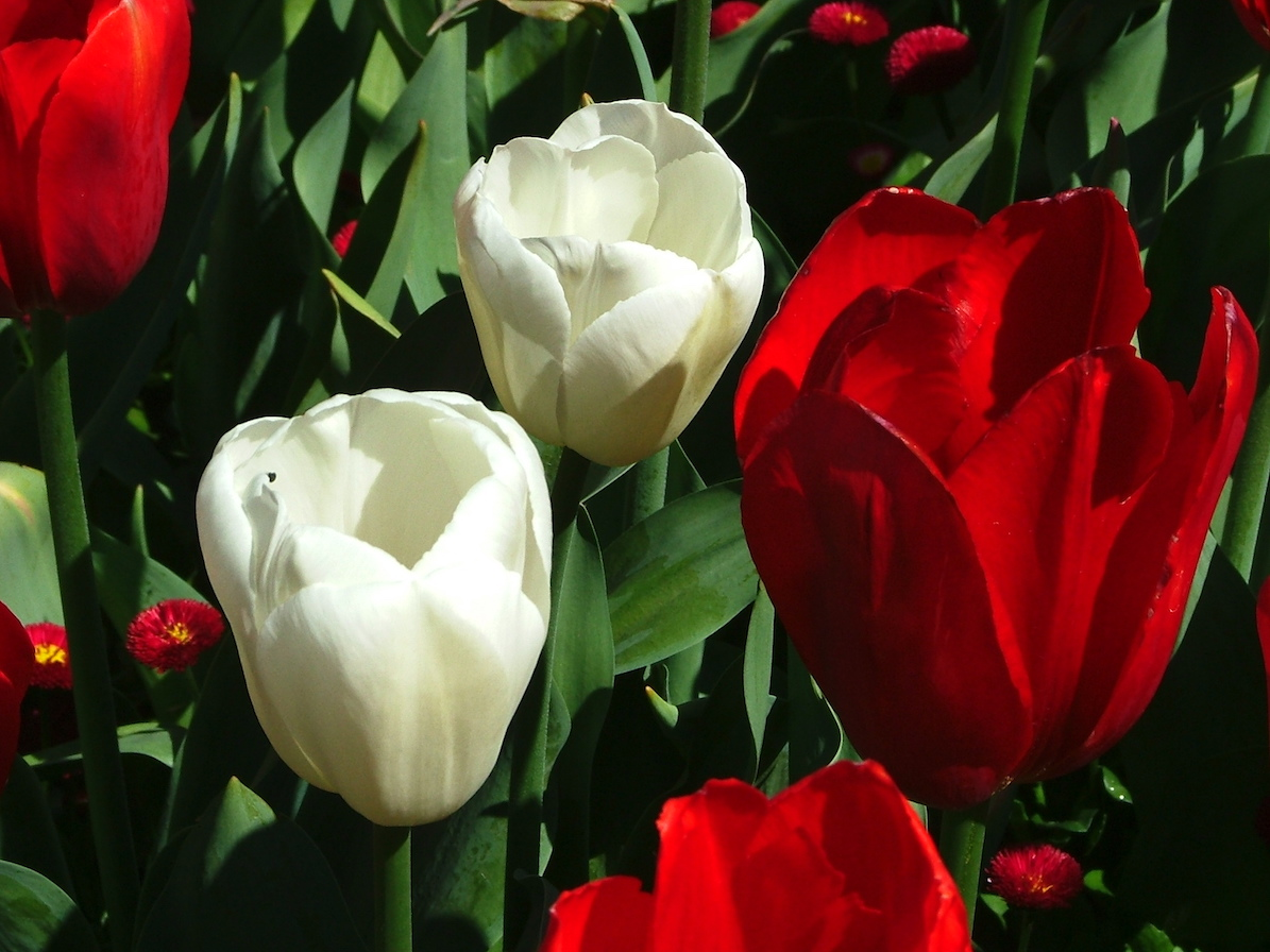Snazzy Ottawa Friendship Tulip Gardens Role Canadian Siers Played Hospitality Canada Provided To Dutch Royal Family Nerlands Liberation houzz 01 Royal Dutch Gardens
