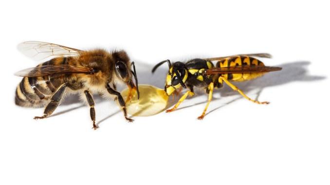 bee_wasp