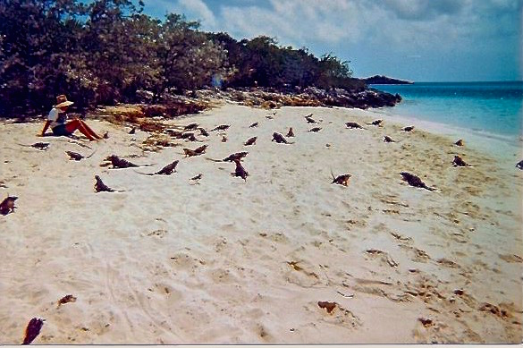 Iguanas mob the beach upon arrival.