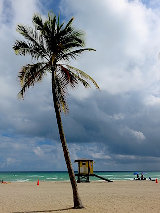 Palm in squalls on Hollywood Beach