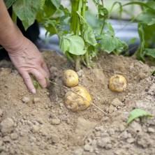 自分で収穫!おいしいカレーを作りましょう!