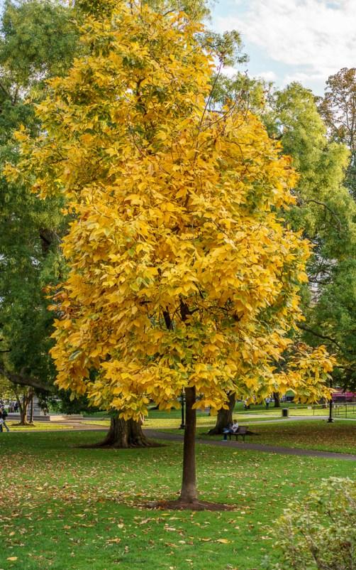 Fall Boston été indien Boston Common arbre jaune