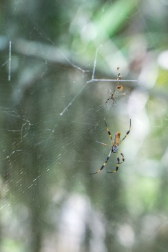 Araignée - Hunting Island State Park Caroline du Sud-6