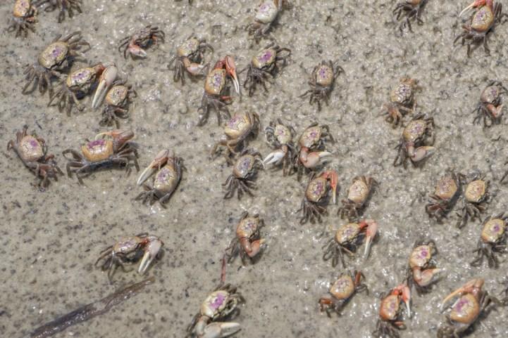 Crabes - Hunting Island State Park Caroline du Sud-9