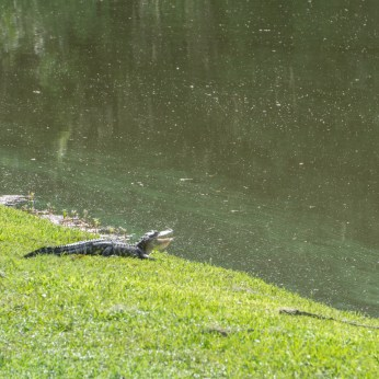 Alligator - Middleton Place Charleston-4