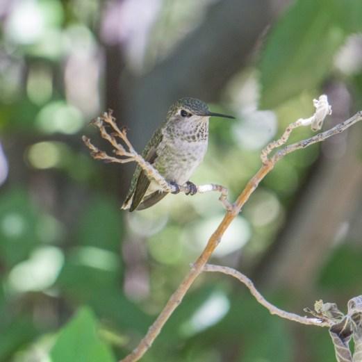 Tucson Arizona colibri