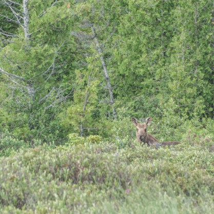 Maine mini moose tour