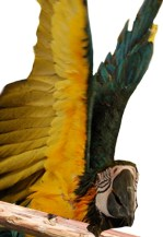 Wings_high_Up_macaw_angry_parrot