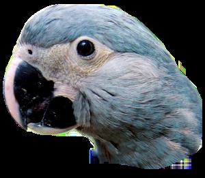 spix_little_blue_macaw