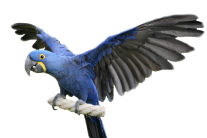 Hyacinth Macaw, Blue Macaw, Blue macaw facts