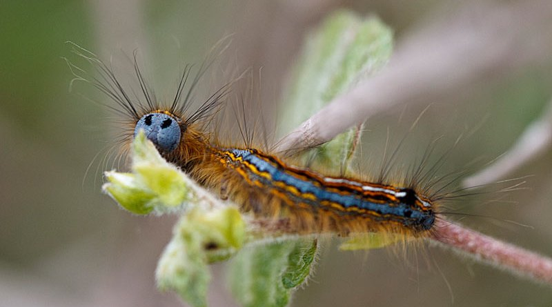Lackey Moth Catterpillar