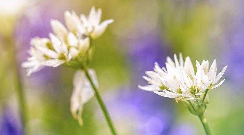 Garston Wood Flowers