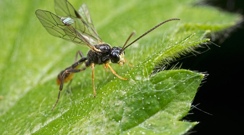 Sawflies, Spiders, Flies & a Click