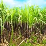 Zuckerrohranbau auf der Insel