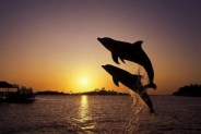 Dolphins to the rescue