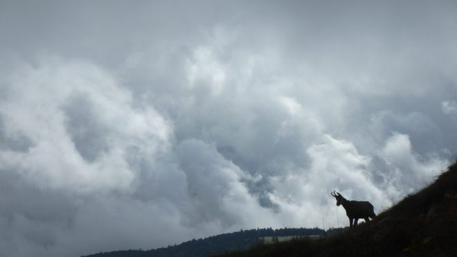 A chamois silhouetted against the clouds up at la Dole