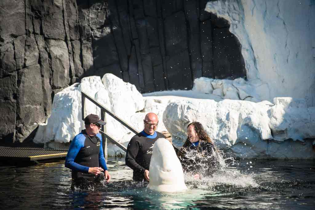 Beluga whale interaction program at SeaWorld
