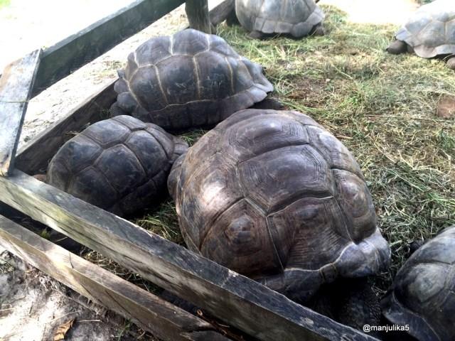 The Aldabra giant tortoise, Seychelles