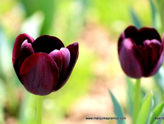 I AM IN LOVE WITH THE TULIPS OF KASHMIR