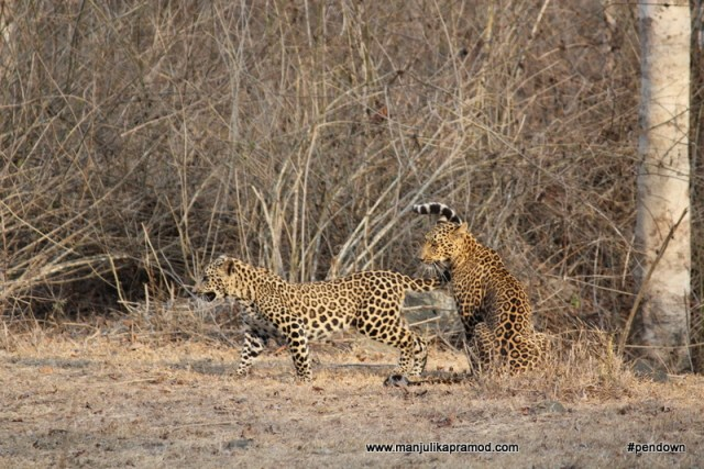 Two beautiful leopards, Karnataka