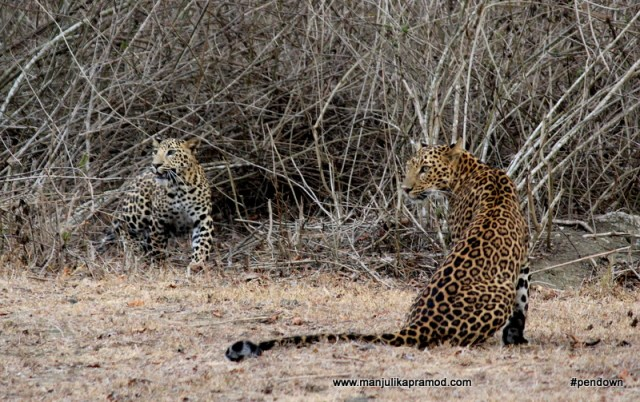 Two leopards sightings in Kabini