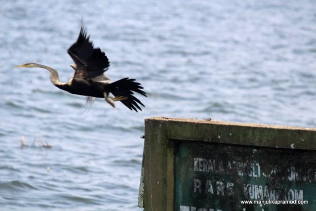 A bird in flight, Kerala