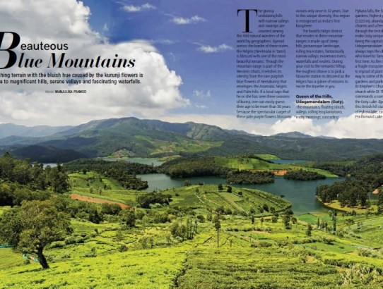 After 12 years, Neelakurinji of the Nilgiris are back in 2018