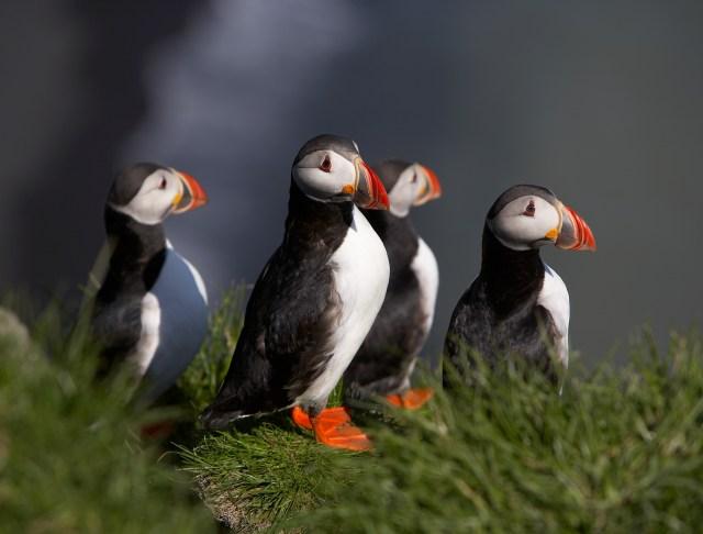 Puffin, Icelandic Fauna