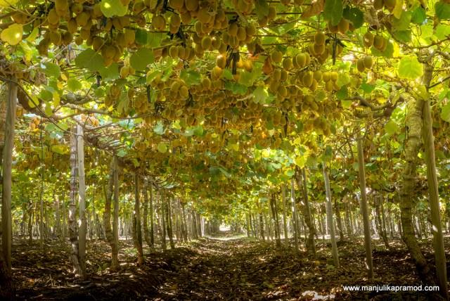 Kiwi orchard, Fruits with Vitamin C