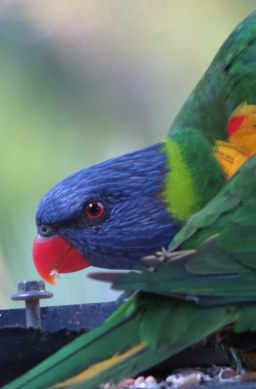 Rainbow Lorikeet at the Bower at Broulee along the Eurobodalla Nature Coast