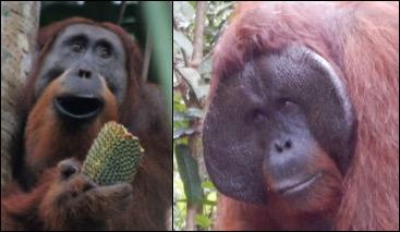 """Tom Roth over zijn nieuw gestartte promotieonderzoek """"Partnervoorkeur in orang-oetans"""""""