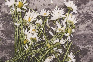 flowers-marguerites-destroyed-dead-large