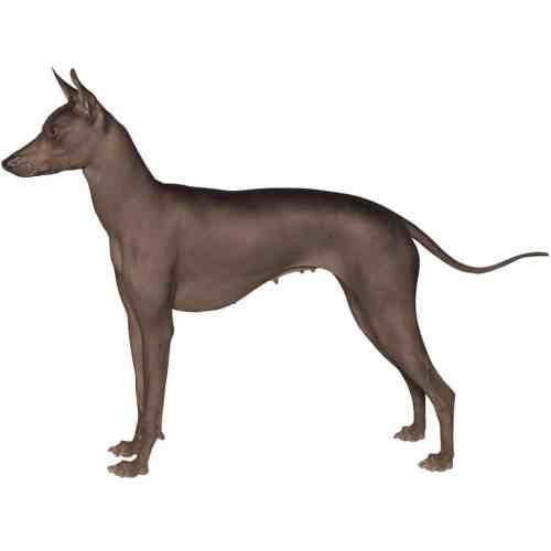 Medium Crop Of Mexican Dog Breeds