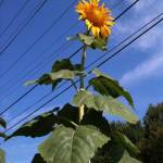 The Giant Sunflowers of Horton Avenue - 1