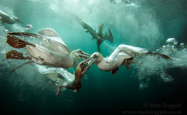 Fish Fight! Northern gannets, Morus bassanus, Scotland