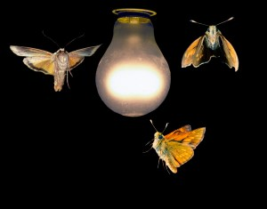 Moths Light Bulb Image