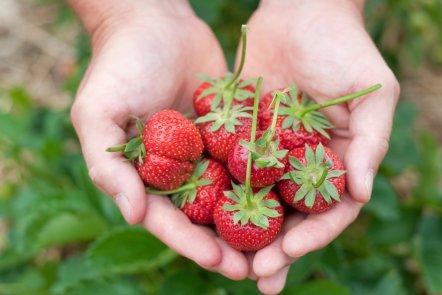 strawberry u pick