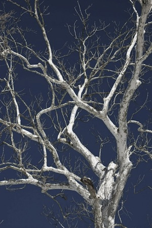 day-after-the-snow-and-white-sycamore-under-the-bright-blue-sky
