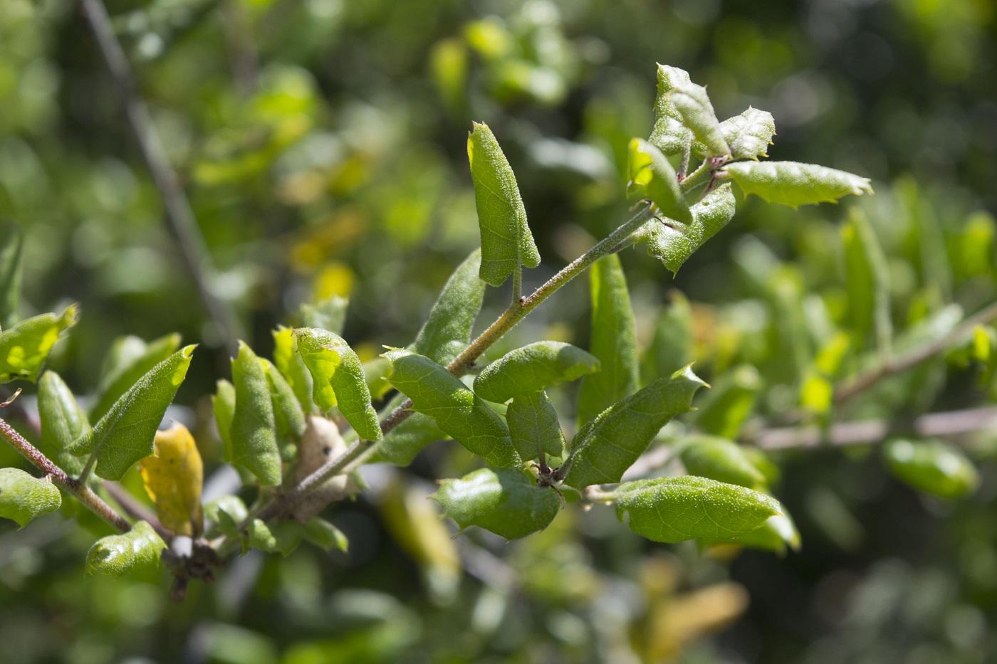 Fullsize Of Live Oak Leaves