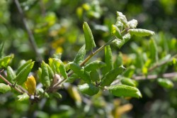 Small Of Live Oak Leaves