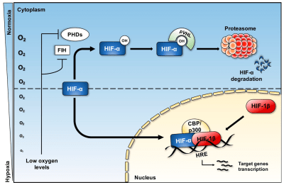 Biomedicines   Free Full-Text   Hypoxia and Inflammation in Cancer, Focus on HIF and NF-κB   HTML