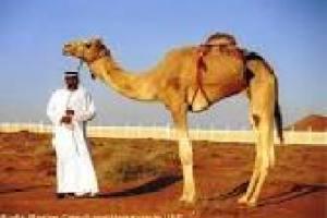 camel5