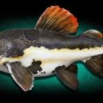 Redtail Catfish, Lele Berekor Merah Dari Amazon