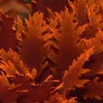 Red-Marine-Algae