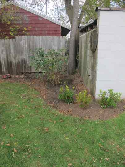 Mountain Laurel, with its leafy greens will really liven up that back corner of the yard.
