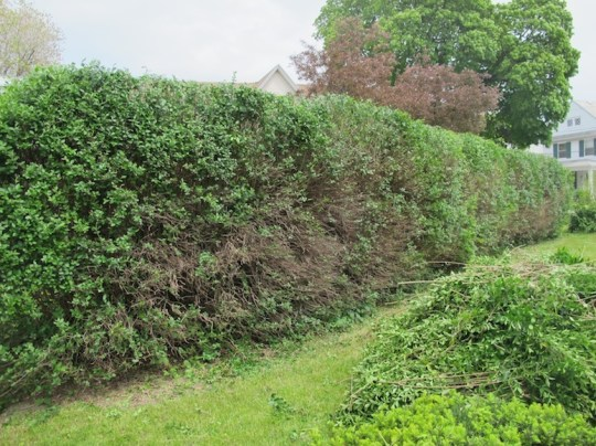 Finished hedges, freshly scaled back.