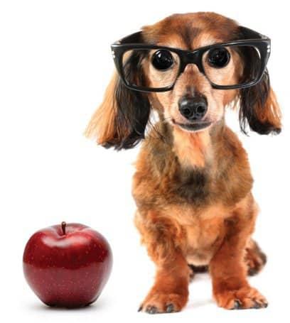 treinamento cão idoso - cão usando óculos com maçã ao lado