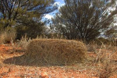 16 Australia 2015_Enorme formicaio nel deserto australiano rosso