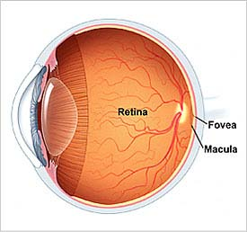 Retina ala octa