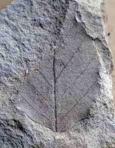 Miocene beech (Nothofagus) leaf fossil